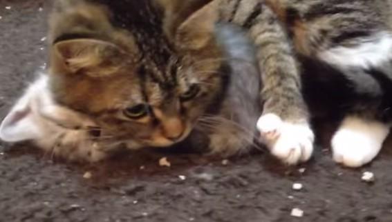 子供を守る母猫の動画
