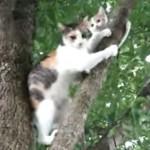 【動画】木に登って動けない子猫を助けに行く親猫(´;ω;`)ブワッ