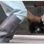 【動画】びっくりしてひっくり返るレッサーパンダの赤ちゃんが超可愛い!