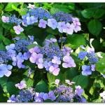 ガクアジサイが綺麗な季節!花言葉や育て方は?【画像】
