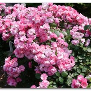 【旧古河庭園】に行ってきた!バラの見頃は?ランチはどこで?