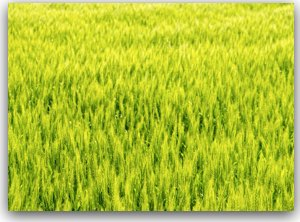 アルスラーン戦記 戦士の資格 小麦